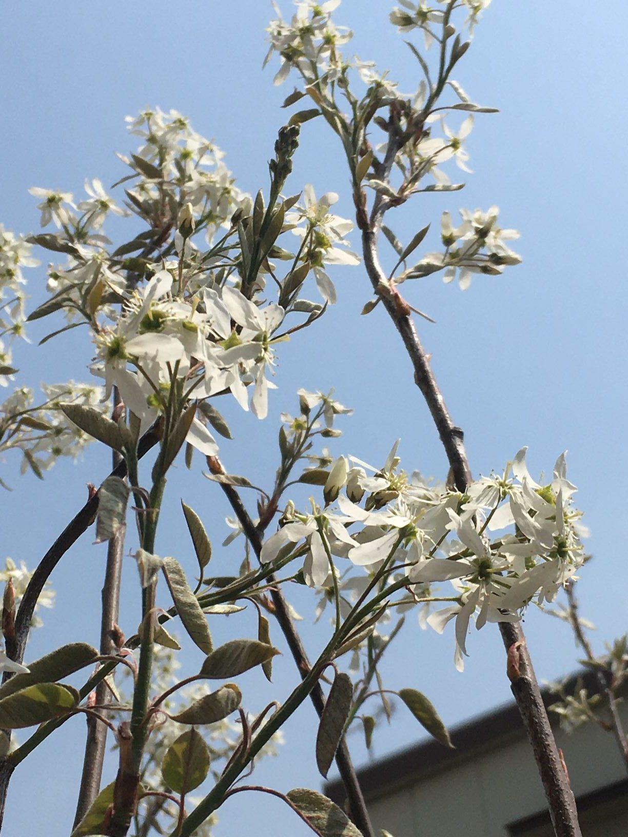 小幡遊べるデッキの庭。ジューンベリー開花。のイメージ