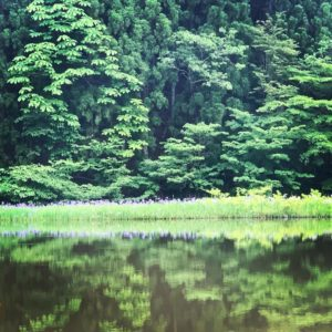 移動自粛の解除。自然を眺める。カキツバタの群生。のイメージ